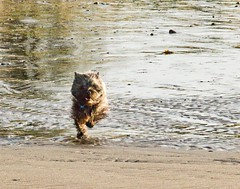 Jimmie going hell for leather (patrickbogert) Tags: cairn terrier dog beach