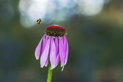 final appoach (rockinmonique) Tags: muttartconservatory echinacea flower bloom blossom petal pink bee bokeh macro green moniquewphotography canon canont6s tamron tamron45mm copyright2019moniquewphotography