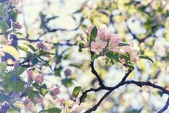Emsland_Frühling_IMG_9080 (milanpaul) Tags: 2019 apfelbaum april baum blüte canoneos6d deutschland emsland frühling germany lingen niedersachsen obstbaum