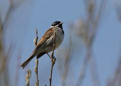 Reed Bunting (Clive Weedon) Tags: reed bunting rspb otmoor bird