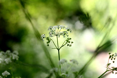 Good morning (GillK2012) Tags: nature wild flower umbellifer huw wednesday anthriscussylvestris cowparsley spring canon 50mm light bokeh