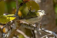 Tennessee Warbler (dbadair) Tags: outdoor drop ft oats desoto nature wildlife 7dm2 ef100400mm canon florida bird