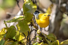Prothonotary Warbler (dbadair) Tags: outdoor drop ft oats desoto nature wildlife 7dm2 ef100400mm canon florida bird