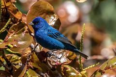 Indigo Bunting (dbadair) Tags: outdoor drop ft oats desoto nature wildlife 7dm2 ef100400mm canon florida bird