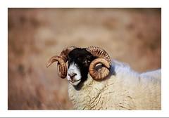 """Show off"" (jamesdewar99) Tags: blackface tup angusglens agriculture scotland portrait light animal sheep flickr explored inexplore"