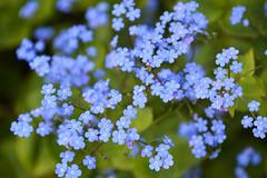 Forget-me-not (Myosotis) (Seventh Heaven Photography **) Tags: forgetmenot forget me myosotis boraginaceae scorpion grasses blue flowers flora blooms