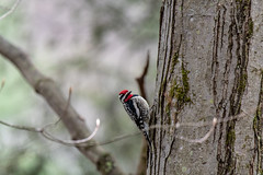 mttom2019-61 (gtxjimmy) Tags: nikond7500 nikon d7500 massachusetts newengland mttom holyoke spring woodpecker yellowbelliedsapsucker