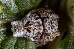 Arkys alticephala (zosterops) Tags: australia tasmania liffeyfallsstatereserve canoneos6d canonmacrolensmpe65 macro arachnida spider arkysalticephala