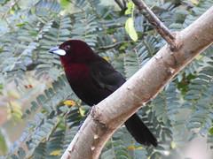 Fauna: Silver-beaked Tanager (Ramphocelus carbo), PermaTree, Ecuador (yago1.com) Tags: fauna permatree birds nature conservation ecuador zamorachinchipe aves