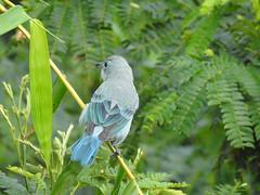 Fauna: Blue-gray Tanager, Thraupis episcopus (yago1.com) Tags: fauna permatree birds nature conservation ecuador zamorachinchipe aves
