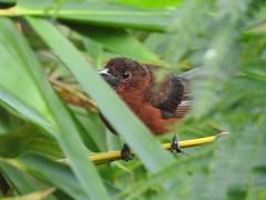 Fauna: (yago1.com) Tags: fauna permatree birds nature conservation ecuador zamorachinchipe aves