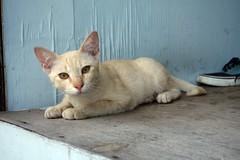 white kitten (the foreign photographer - ฝรั่งถ่) Tags: white kitten cat khlong thanon bangkhen bangkok thailand sony rx100