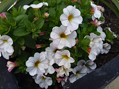 Petunias And Greenery. (dccradio) Tags: lumberton nc northcarolina robesoncounty petunia petunias leaf leaves greenery flower flowers floral planter bloom blooming beauty gardening plant nature samsung galaxy smj727v j7v cellphone cellphonepicture april spring springtime easter eastersunday sunday sundayafternoon afternoon goodafternoon weekend easterweekend holiday