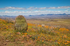 IMG_0014-Barrel Cactus, Peridot AZ (Desert Rose Images) Tags: landscape scenic barrel cactus poppies wildflowers mountains sky clouds arizona san carlos reservation passages peridot
