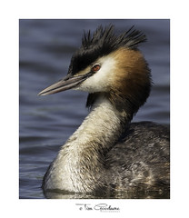 'All dressed up and nowhere to go' (timgoodacre) Tags: greatcrestedgrebe grebe bird birds birdportrait birdlife wildbird water waterbird waterfowl waterdrops watching wildlife wildanimal wild nature nationalgeographic natural ngc