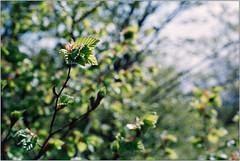 Frühlingserwachen (Ulla M.) Tags: spring frühling grün green leaves blätter analogphotography analogue analog agfa agfafilm nikonfm selfdeveloped selbstentwickelt homedeveloped 35mm kleinbild reflectaproscan10t tetenalcolortec freihand umphotoart dof bokeh
