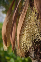 A palm tree's flowers (jjackowski) Tags: flowers palmtrees arecaceae canonefs60mmf28macrousm efs60mmf28macrousm rawtherapee