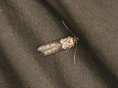 Blastobasis sp. (dhobern) Tags: 2019 april australia lamingtonnationalpark lepidoptera queensland blastobasis blastobasidae