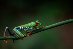DSC_0322 (Rubencuenca) Tags: agalychnis callidryas rana frog red eyes crock macro macrophotography