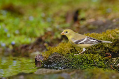 American Goldfinch (Martin Dollenkamp) Tags: vancouverisland goldfinch finch yellow spinustristis