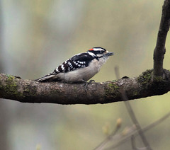 Downy woodpecker (carpingdiem) Tags: downywoodpecker birds indianapolis spring 2019