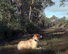 Mornin' Molls (macromary) Tags: manual mechanicalcamera mediumformat porta160 120film 120 vintagecamera vintagelens oldflorida florida dog lab labrador yellowlab trail naturetrail lakewoodruff deland lakewoodruffnationalwildliferefuge molly fl airbnb lakewoodruffgetaway 105mm f24 pentax 6x7 kodak iso160 portra kodakportra color colour colorfilm colourfilm color120film film colour120film analog labradorretriever rest grass littledoglaughedstories
