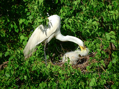 Next generation (DigitalLyte) Tags: earthday2019 earthday greategret ardeaalba egret nestling nest rookery smithoaksrookery highisland tx texas birds wildlife wildlifeinthewild sanctuary houstonaudubon chick claybottompond island