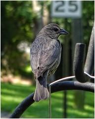 Little Bird Checking Out Our Feeders   May 15, 2019 (steveartist) Tags: birds smallbirds songbirds finch sonydscwx220 stevefrenkel bokeh sign birdfeeder