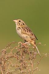 Henslow's Sparrow - Ohio (www.studebakerstudio.com) Tags: henslows sparrow henslowssparrow ohio bird songbird grassland