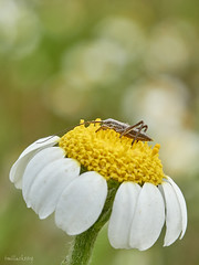 Insecte-01 1 (Toni Lluch) Tags: olympusomdem5ii mzuiko60mmmacro macro insect