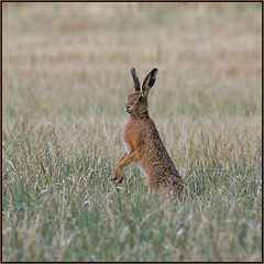 Brown Hare (image 2 of 2) (Full Moon Images) Tags: woodwalton fen greatfen bcn wildlife trust nnr national nature reserve cambridgeshire animal mammal brown hare