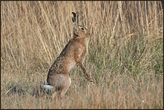 Brown Hare (image 1 of 2) (Full Moon Images) Tags: woodwalton fen greatfen bcn wildlife trust nnr national nature reserve cambridgeshire animal mammal brown hare