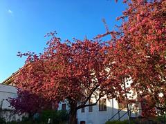 Flowering Paradise-Appletrees (halleluja2014) Tags: melancholy paradisäppelträd paradisäpple paradiseapple paradiseappletree beauty deeppink rosaceae blossom flowering nybrogatan falun dalarna