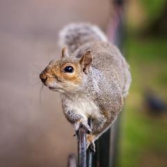 Squirrel (CHCaptures) Tags: greatbritain london stjamespark tierwelt uk unitedkingdom a7iii animal bokeh fence ilce7iii ilce7m3 park sel24105g sony squirrel urban wildlife