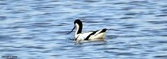 J78A0083 (M0JRA) Tags: rspb blacktoft sands birds flying people ponds lakes trees walks marsh harrier