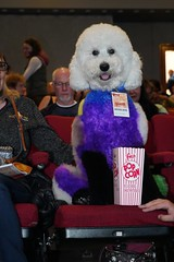 Well Groomed Red Carpet Dogs (Lynn Friedman) Tags: wellgroomed dogs animals artistic sffilm sanfrancisco victoriatheatre redcarpet celebrity canine 94110