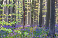 Magical bluebell forest (Petra S photography) Tags: hallerbos belgium wood bluebellseason bluebells bluebellforest hasenglöckchen jacinthes waldhyazinthen beech beechtrees sunrise earlymorning morninglight forest beautifulnature serene magicalforest boisdehal spring wildflowers