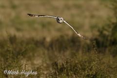 Short-eared Owl (markandruth.photos) Tags: owl short eared bird wildlife photography nature flight flying feathers prey animal canon