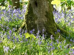 Sous bois bleuté (FleurdeLotus28) Tags: nature paysage bois sousbois wood arbre tree green grass herbe flower fleur printemps spring campagne forêt forest beauté photographie
