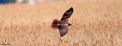 Marsh Harrier J78A0109 (M0JRA) Tags: rspb blacktoft sands birds flying people ponds lakes trees walks marsh harrier