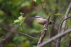 Nuthatch (2) (eugene-r) Tags: canon canoneos70d canonefs55250mmf456isstm bird nature