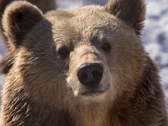 Polar Park - Brown Bear 4 (astronut2007) Tags: brownbear bardu norway arcticcircle vikingsky bear