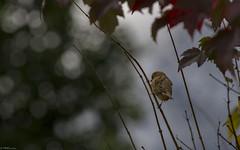 AUTOMNE SOLITAITRE dans les Pyrénées. (thierrymuller) Tags: 200500nikon 2018 d610nikon elpadrepicture loudenvielle102018 thierrymuller pyrénées2018 art animal animals aves photo photographie oiseau frenchtouch mamanano nikonpassion nikon nature pyrénées bird