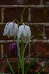 Snake's-head Fritillary (Fritillaria meleagris) (BiteYourBum.Com Photography) Tags: dawnandjim dawnjim biteyourbum biteyourbumcom copyright©2019biteyourbumcom copyright©biteyourbumcom allrightsreserved uk unitedkingdom gb greatbritain england canoneos7d canonefs60mmf28macrousm canonmacrotwinlitemt26exrt apple imac5k lightroom6 ipadair appleipadair camranger lrenfuse focusstacking manfrotto055cxpro3tripod manfrotto804rc2pantilthead loweproprorunner350aw sussex westsussex southdowns southdownsnationalpark ebernoecommonnationalnaturereserve ebernoecommon ebernoe snakeshead fritillary fritillaria meleagris snakesheadfritillary fritillariameleagris