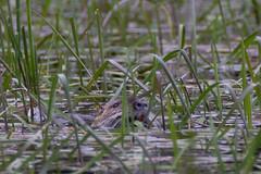 DSC_7131-4.jpg (martin remigy) Tags: faune ragondin
