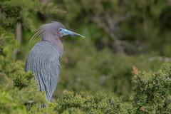 Little Blue Heron (Kevin E Fox) Tags: littleblueheron heron nature nikond500 nikon newjersey oceancity welcomecenter