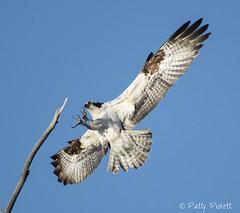 osprey (Pattys-photos) Tags: osprey idaho pattypickett4748gmailcom pattypickett