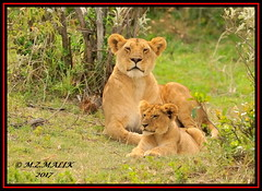 FEMALE LIONESS (Panthera leo) WITH HER CUB......MASAI MARA......SEPT 2017 (M Z Malik) Tags: nikon d3x 200400mm14afs kenya africa safari wildlife masaimara keekoroklodge exoticafricanwildlife exoticafricancats flickrbigcats lioness lioncubs leo ngc npc