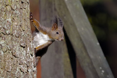 Now you've got my attention (Paul Wrights Reserved) Tags: squirrel squirrels animal animalantics