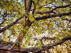 Going Home. (Prabhu B Doss) Tags: prabhubdoss travelphotography theautobiographyofayogi paramahamsa yogananda swami sri yukteswar giri swamisriyukteswargiri lahari mahasya ranamahal banyan tree india monkey kashi varanasi benares fujifilm fujilove fujifeed gfx gfx50s gf gf3264mm